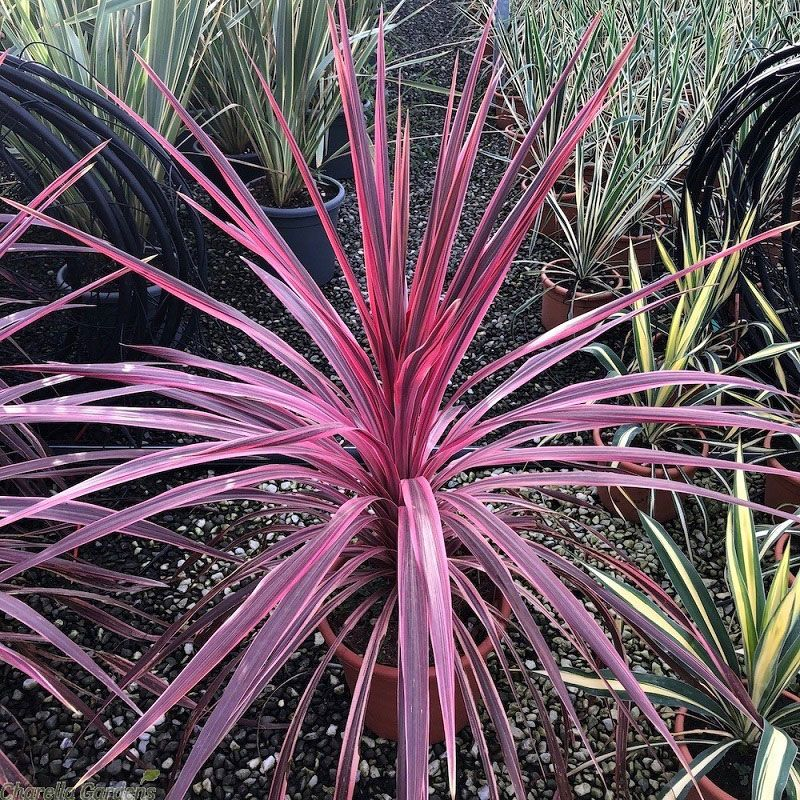 Cordyline 'Pink Passion'
