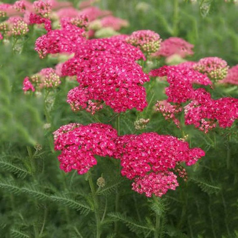 Achillea 'Tutti Saucy Seduction'