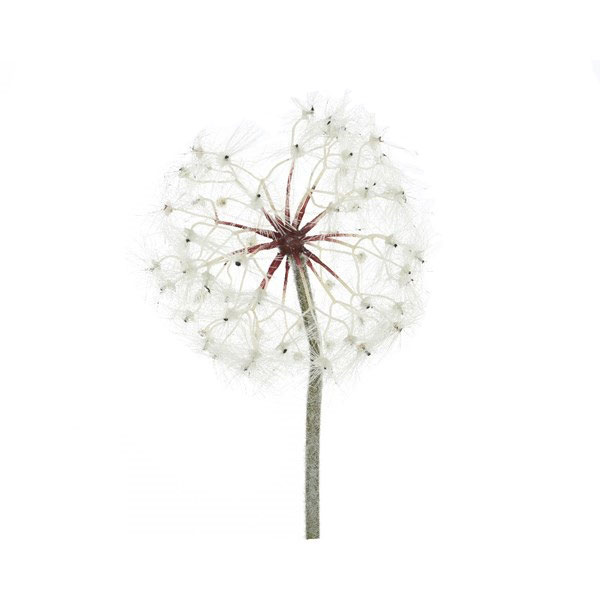 Artificial White Dandelion on Stem 90cm