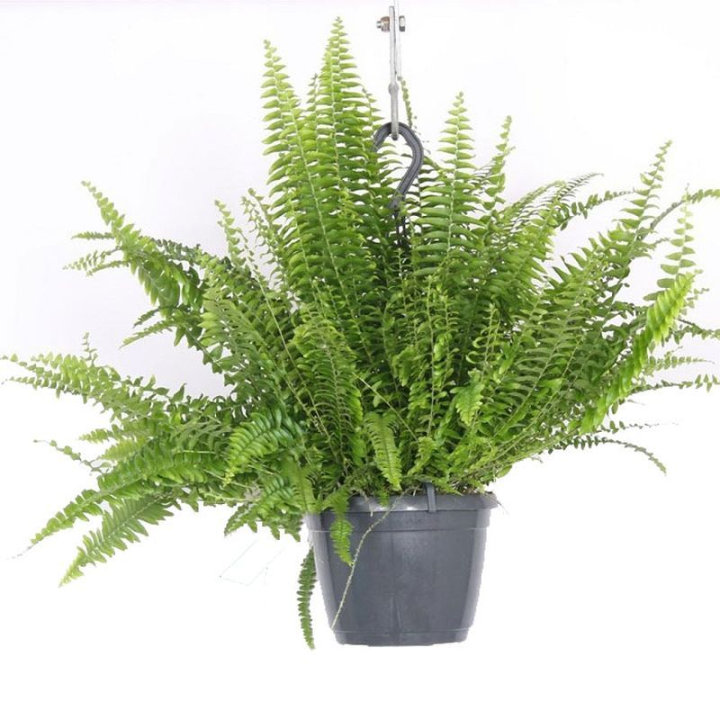 Nephrolepis exal. 'Green Lady' - Hanging Pot