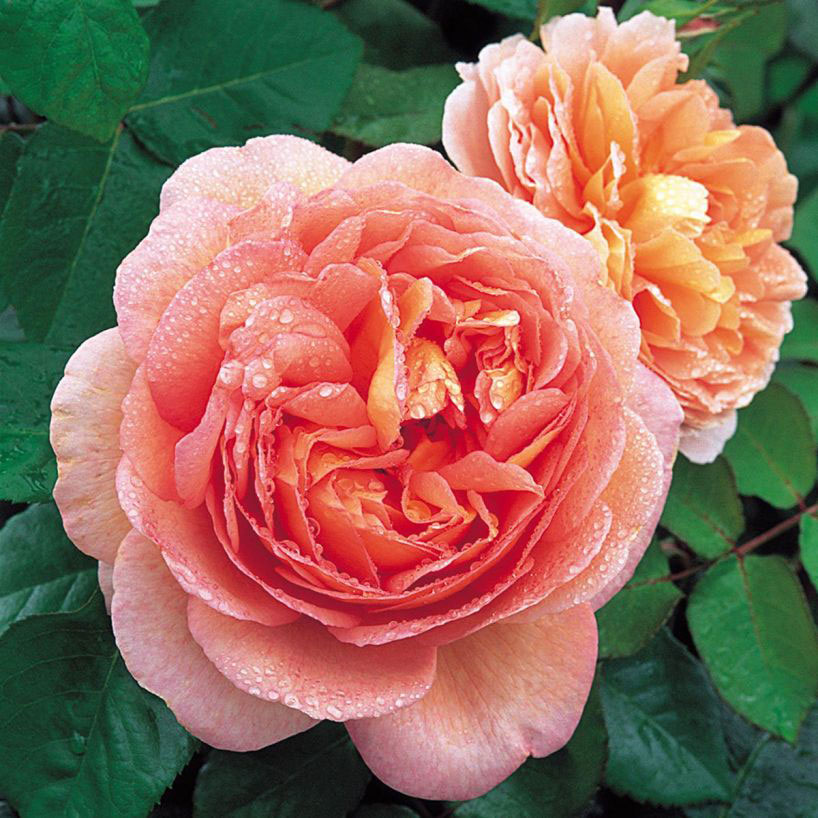 Abraham Darby (David Austin Fragrant Rose)