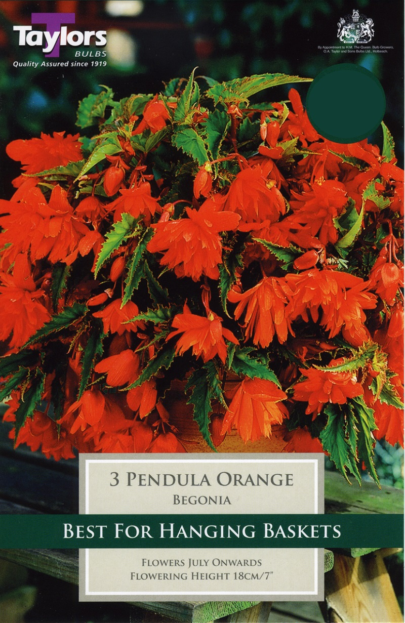 Begonia Orange Giant Flower Cascading