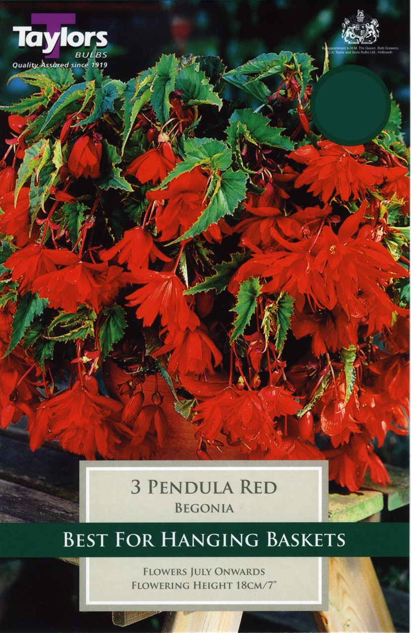 Begonia Red Giant Flowering Pendula