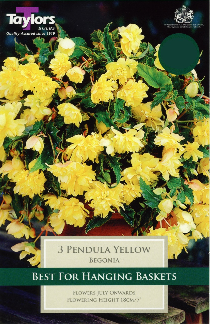 Begonia Yellow Giant Flower Pendula