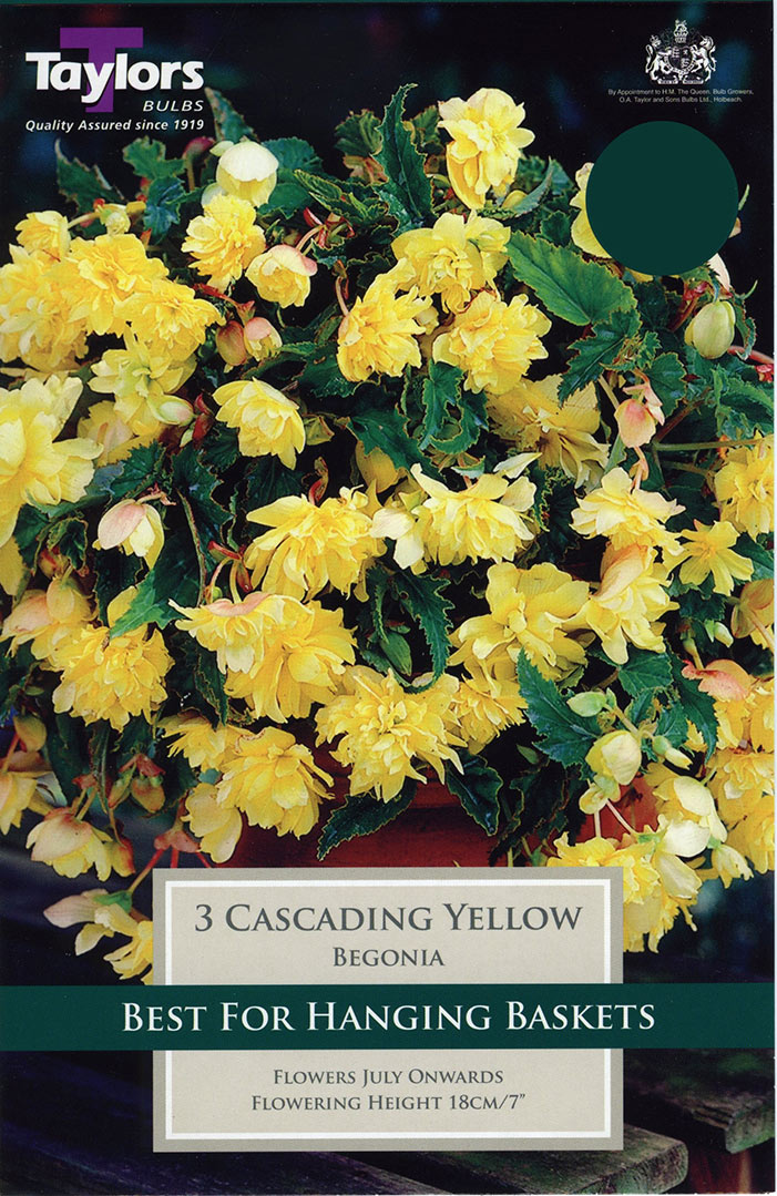 Begonia Yellow Pendula