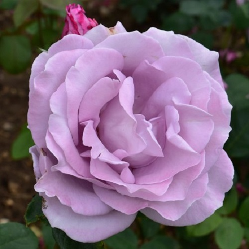 Blue Moon Hybrid Tea Rose
