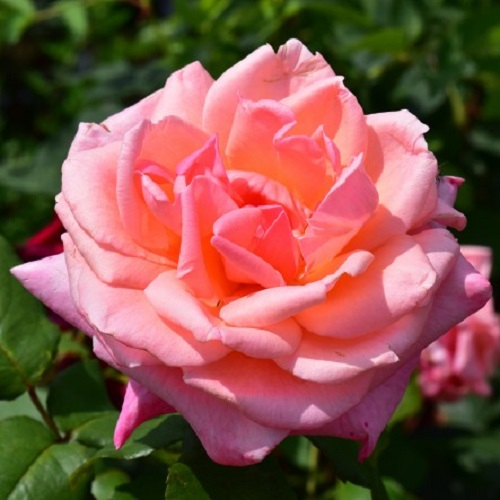 Congratulations Hybrid Tea Rose