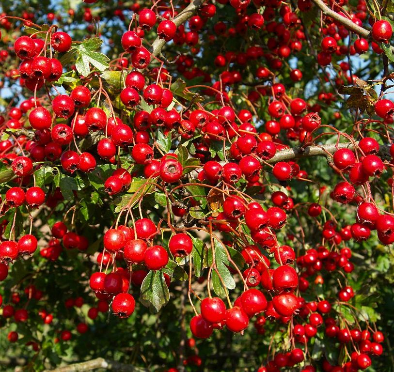 Hawthorn Hedging Bareroot - Crataegus Monogyna 40/60cm in Height