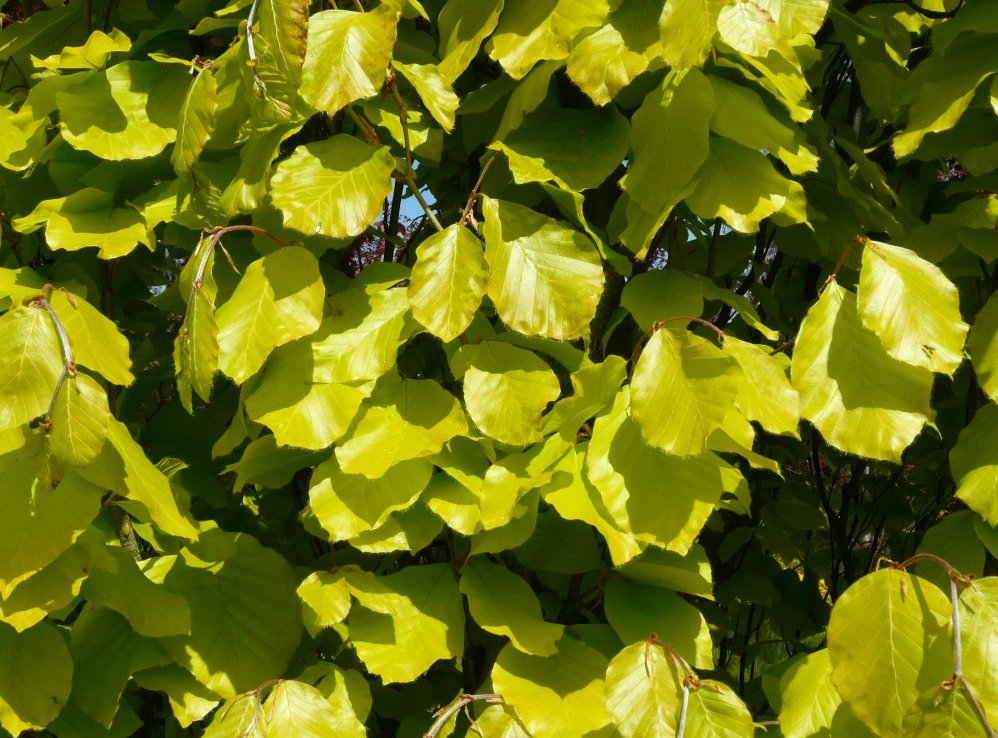 Fagus sylvatica 'Dawycks Gold'