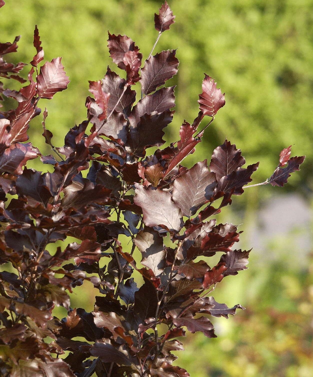 Fagus Sylvatica Dawycks Purple