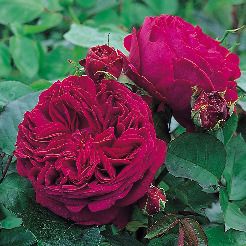 Falstaff Shrub Rose (David Austen Fragrant Rose)