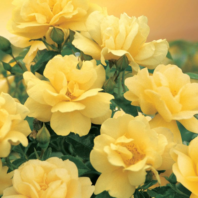 Flower Carpet 'Gold Rose'