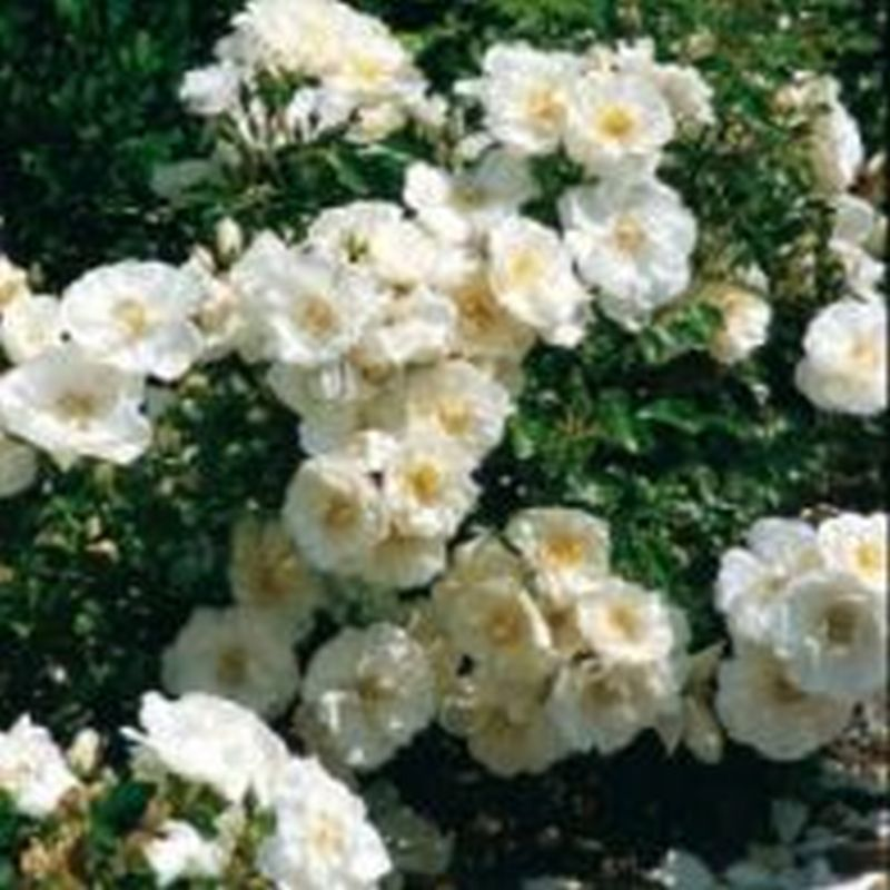 Flower Carpet 'White Rose'