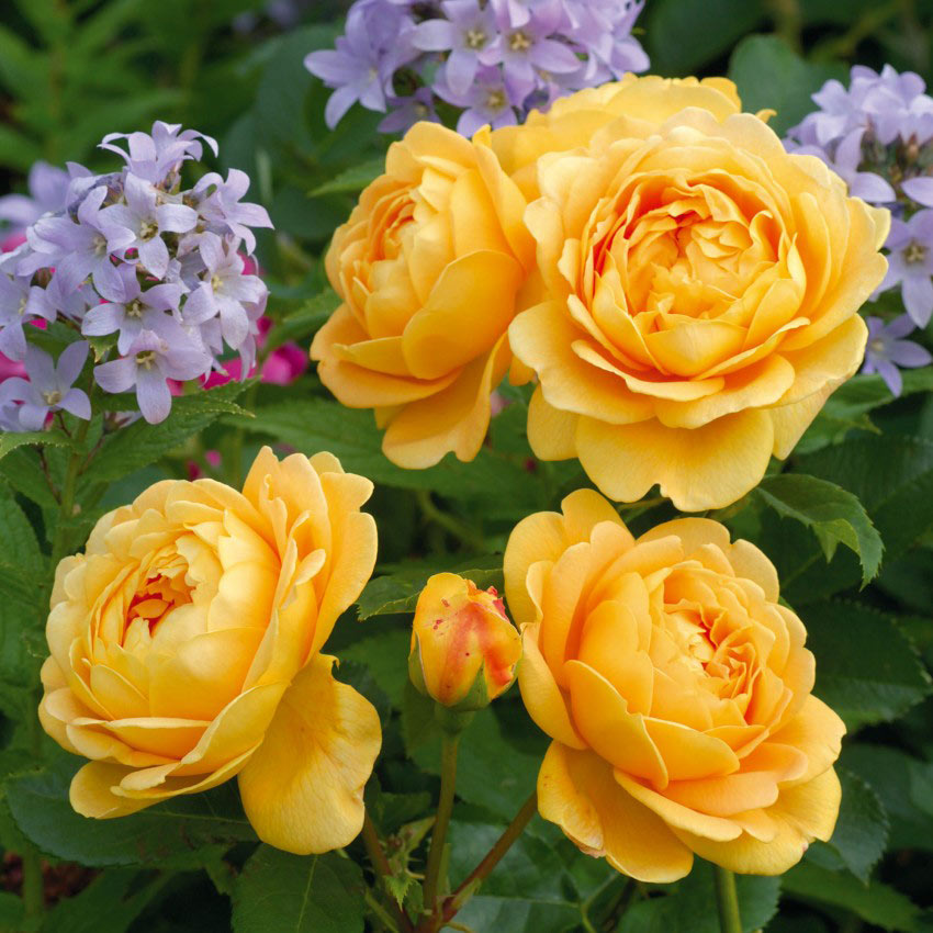 Golden Celebration (David Austin Fragrant Rose)