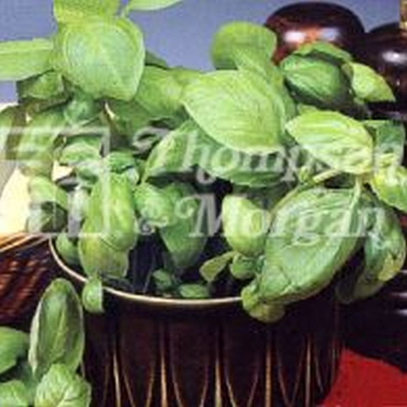 Herb Basil Sweet Green