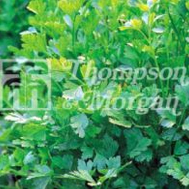 Herb Parsley French Plain Leaved (Sheeps) 2