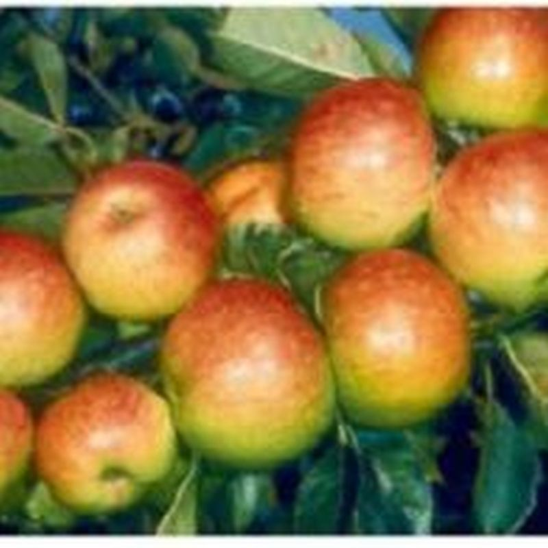 Malus d. 'James Grieve'