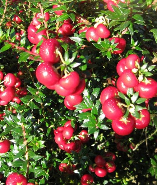 Pernettya.Pernettya Mucronata Pink Shrubs Arboretum Garden Centre