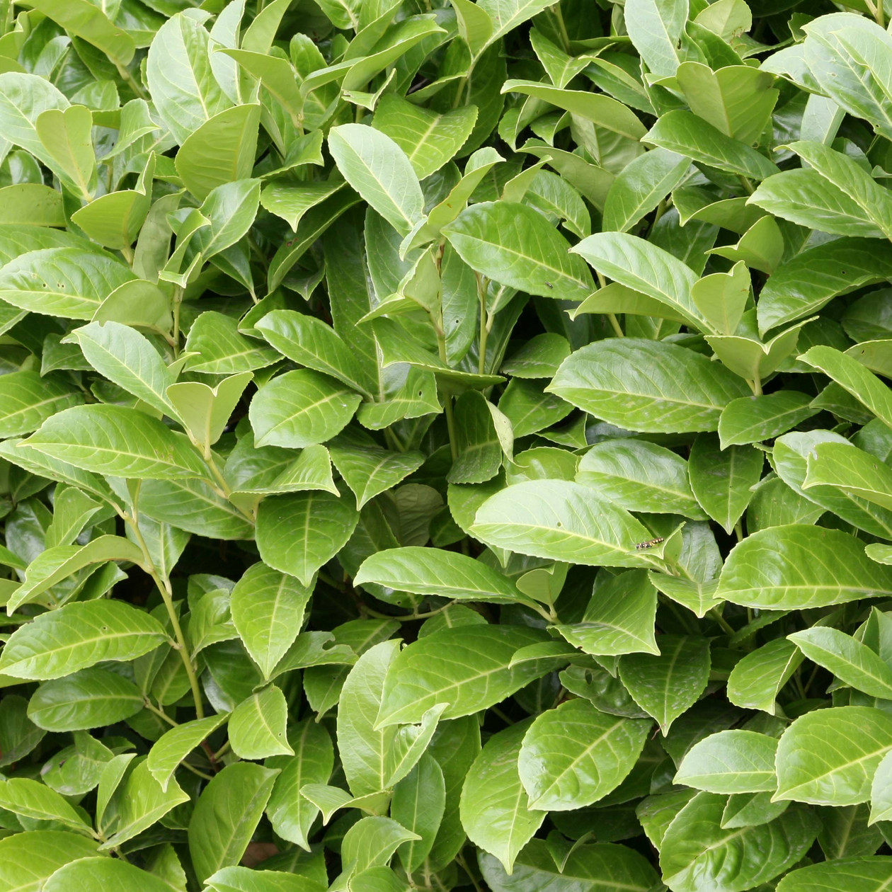 Common Laurel (Cherry Laurel) 3ltr