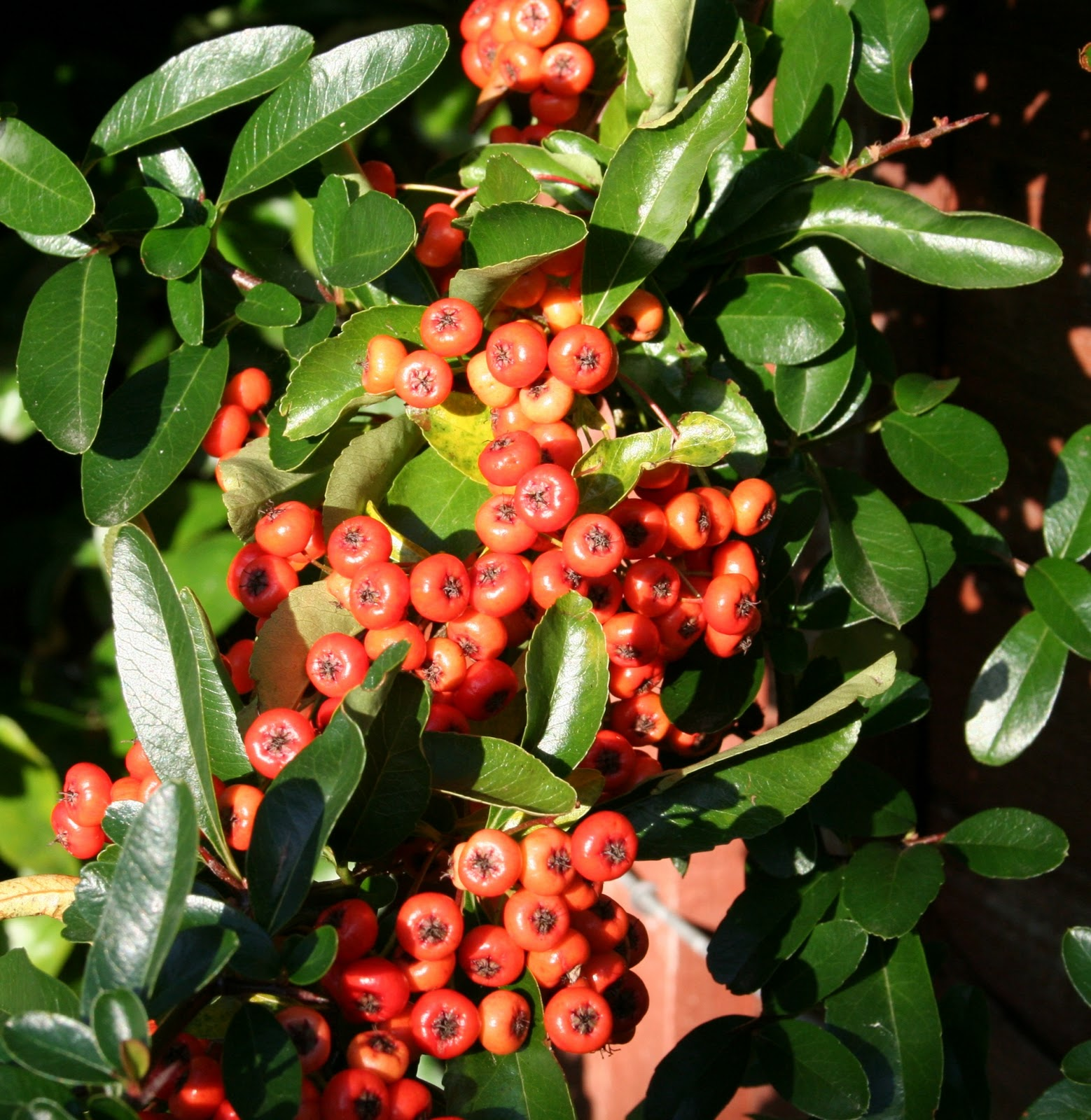 Pyracantha 'Orange Glow' - 2 Litre