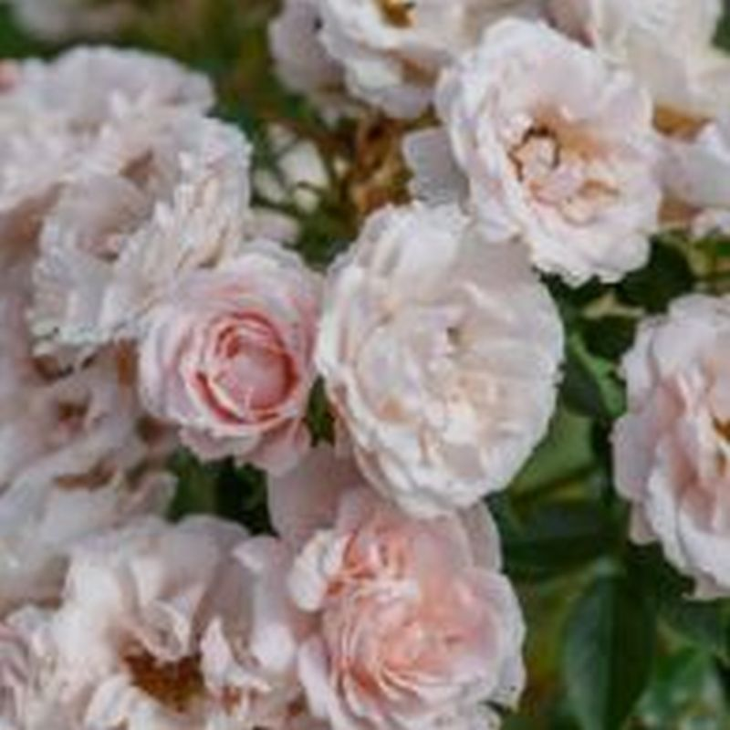 Rosa 'Lovely Bride'