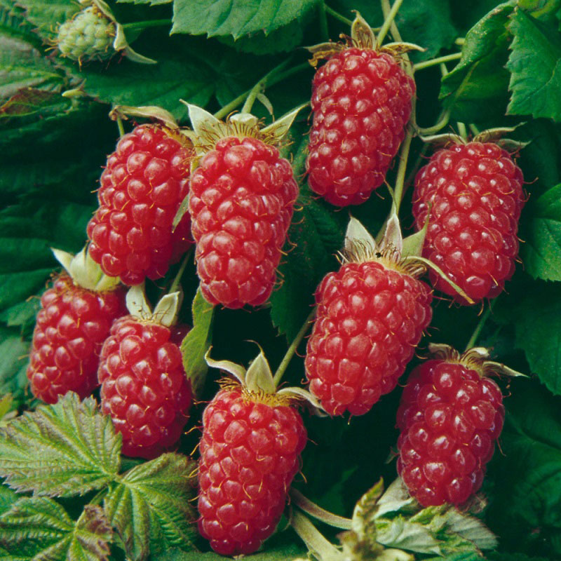 Rubus 'Thornless Loganberry'