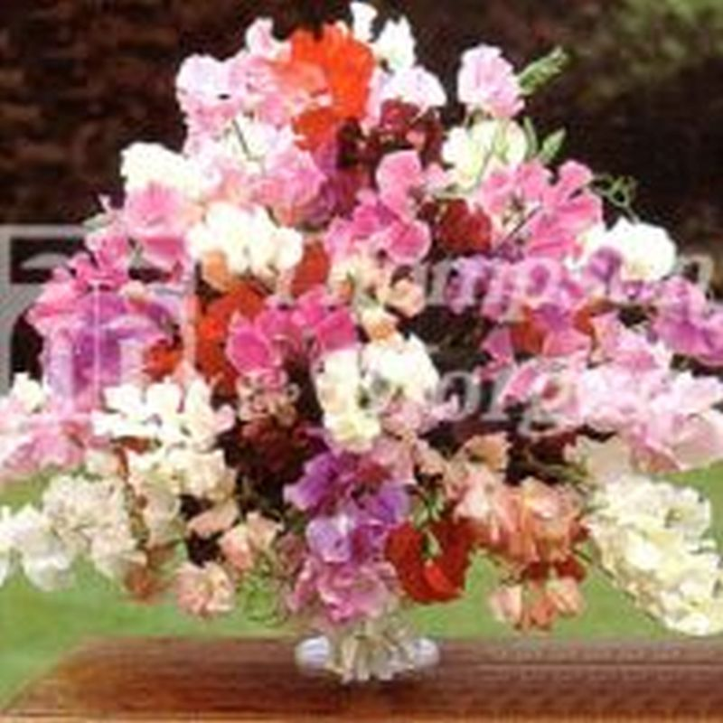 Sweet Pea : Floral Tribute
