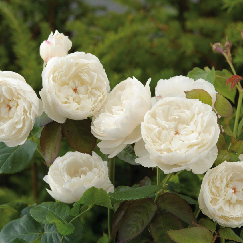 William & Catherine (David Austin Fragrant Rose)