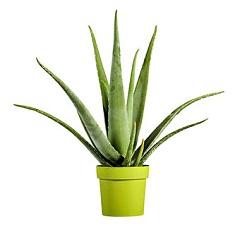Aloe Vera plant for Christmas gift to gardener