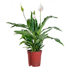 peace lily for Christmas gift to gardener