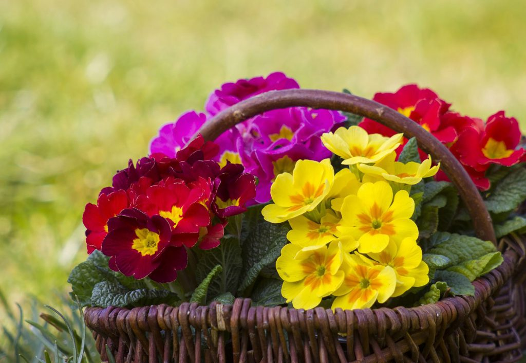 Colourful primroses in wicker basket
