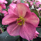 helleborus ice and roses plant
