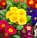 Primula Primroses multi-coloured