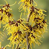 Witvh Hazel Plant Yellow
