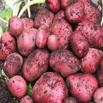 Red Duke of York Seed Potaotes