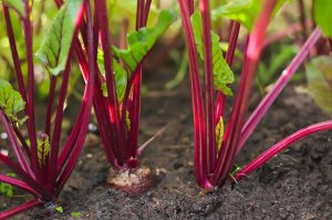 beetroot growing in the ground