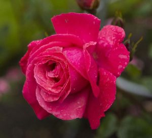 galway-bay-rose