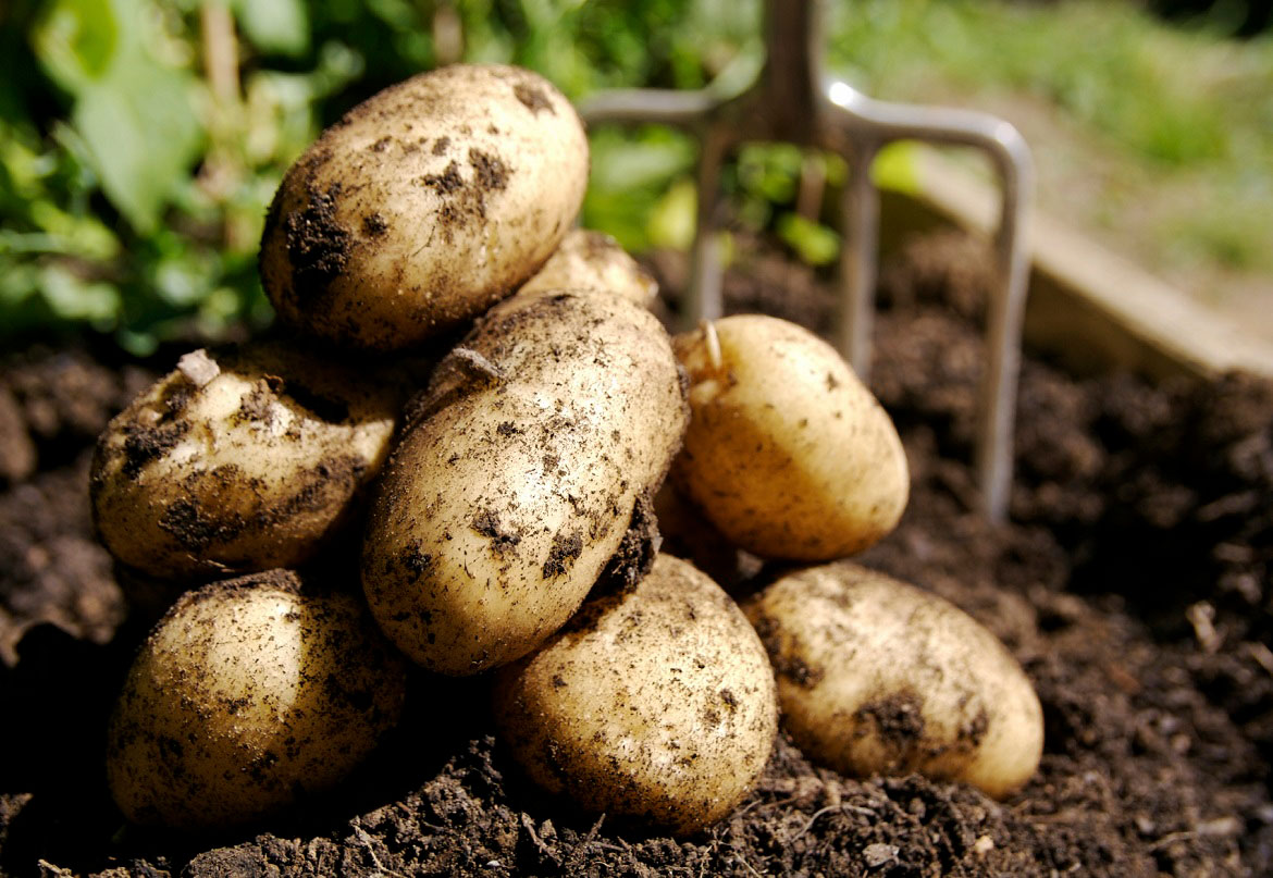 fresh potatoes on soil