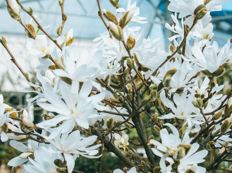 spring flowering magnolia