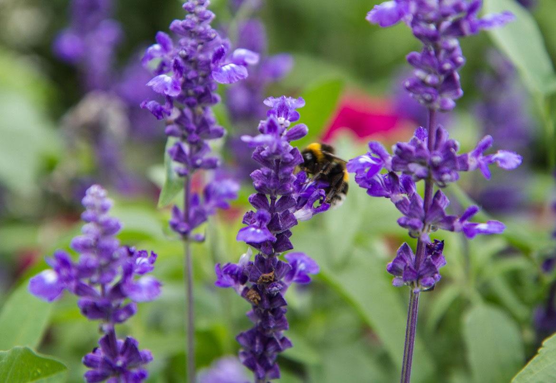 Salvia plants with Bee