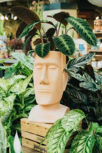 Calthea in easter island planter