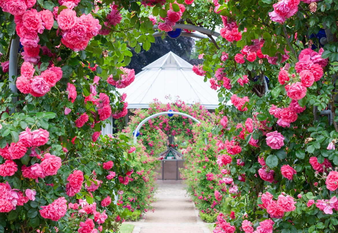 Pink Rose on Archway Germany