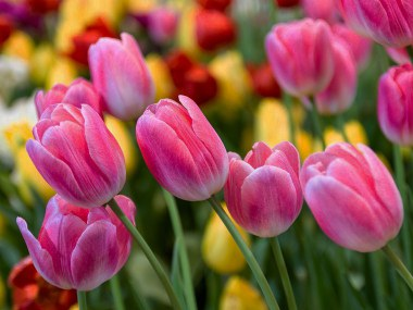 Tulips in flower pink and yellow