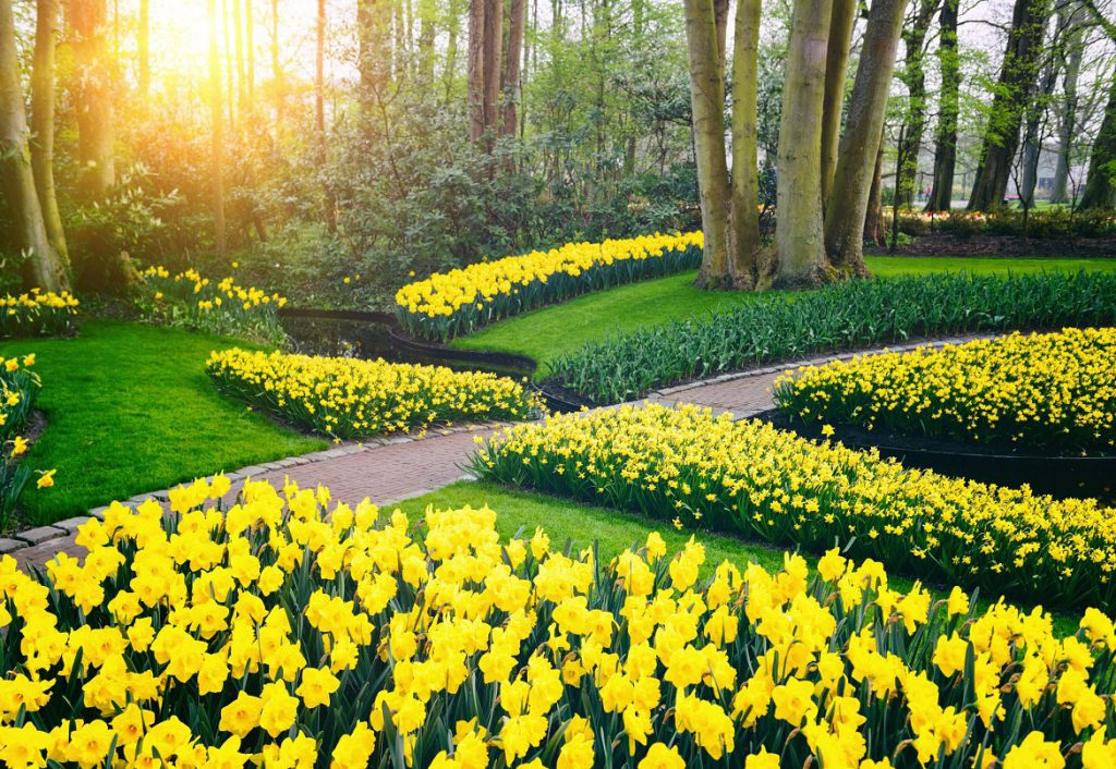 Daffodil garden in full bloom