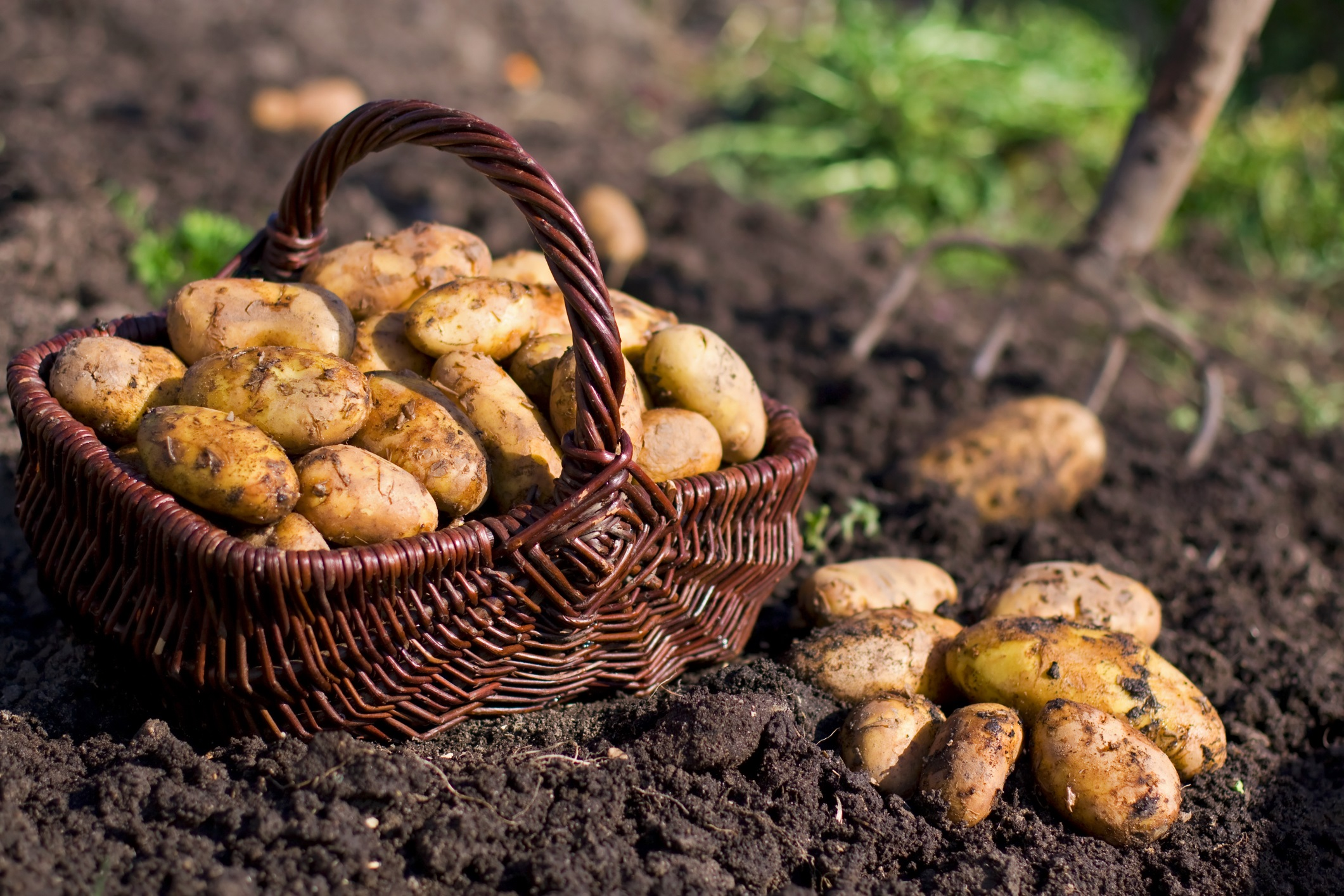 Potatoes in field